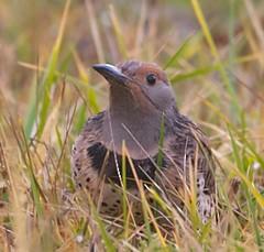 Northern Flicker (orencobirder) Tags: woodpeckers flickrexport largebirds