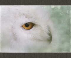 True Eyes (Aum Kleem) Tags: white texture nature animal snowy stones wildlife aves owl animalia bubo snowyowl strigiformes yelloweye strigidae lifeisgreat beautifulearth chordata amazingnature harfang buboscandiacus birdbird arcticowl greatwhiteowl trueeyes naturelimited 3wordcomments bestflickrfriends djangosmasterclassphotography damncoolphotographersinworld naturesprime mygearandme ringexcellence tmiyourartandnature redgroupno1 yourbestoftodaythroughmyeyes aumkleem detailsallerart yellowgroupno2 this11naturalobjectonly elitephotographerl1 eraofsaskatchewanoneroomschoolhouses