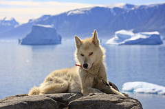 "Schlittenhund, Uummannaq, Westgrönland • <a style=""font-size:0.8em;"" href=""http://www.flickr.com/photos/73418017@N07/6747925795/"" target=""_blank"">View on Flickr</a>"