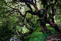 Rhododendron forests shrouded in mist (Michał Olszewski) Tags: nepal tree forest asia rhododendron land shrub himalayas acap tropicalforest gandaki kaski annapurnaconservationarea geographicalfeatures annapurnaconservationareaproject