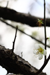IMG_6034 (Sandor's Album) Tags: flowers flower blossom plum hsinchu taiwan       nationaltsinghuauniversity drmeimemorialgarden