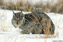Canada Lynx (Critter Seeker) Tags: canada nature animal cat canon mammal outdoors rebel wildlife yukon canonrebel lynx t2i canadalynx mygearandme canont2i