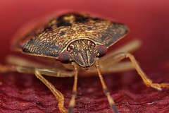 shield bug (FISHNROBO) Tags: life light red wild orchid colour macro green nature closeup insect newcastle fun bush flora flickr close natural native wildlife australia insects cannon robo fishnrobo