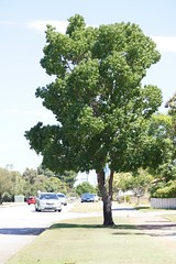 Chinese tallow tree (Tatters ✾) Tags: street tree australia perth westernaustralia euphorbiaceae sapiumsebiferum streettree triadica rossmoyne triadicasebifera crotonsebifer