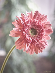 Love of Light (aleemsm) Tags: pink light flower home window dof delhi niftyfifty