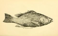 Anglų lietuvių žodynas. Žodis lutjanus griseus reiškia <li>lutjanus griseus</li> lietuviškai.