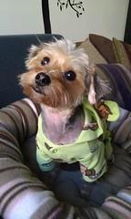 No Monkeying Around (alachia) Tags: dog cute monkey sweet adorable daisy pajamas morkie daisygrrrl