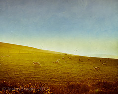 Counting sheep again..... (s0ulsurfing) Tags: uk morning england seascape english texture nature grass sunshine birds backlight clouds rural canon vintage fence landscape island gold golden countryside spring scenery sheep natural britain farm gulls country hill farming rustic flock nostalgia photograph isleofwight april fields british rays backlit fleece legend landschaft grazing wight bucolic westwight flypaper 2011 s0ulsurfing coastuk vertorama bucolical jasonandthegoldenfleece jasonswain