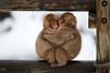 Japan - Snow monkey babies (sadaiche (Peter Franc)) Tags: two baby monkey furry hug cuddle jigokudani snowmonkey yudanaka snowmonkeys
