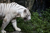 IMG_2426 (Marc Aurel) Tags: zoo singapore tiger tigre singapur whitetiger zoologischergarten singaporezoo weddingtrip hochzeitsreise bengaltiger pantheratigris zoologicalgarden königstiger pantheratigristigris royalbengaltiger pantheratigrisbengalensis weisertiger 5dmarkii eos5dmarkii indischertiger tigrebiancha