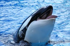 Scumbag Orca (Seals4Reals) Tags: world ocean show sea one orlando florida killer whale orca seaworld shamu katina
