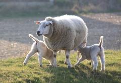 sheep family (Kristel Van Loock) Tags: animals fauna countryside sheep belgium belgique belgië belgica animali moutons flanders schapen belgien belgio pecore lammetjes vlaanderen schaapjes bierbeek boutersem pecora flandre vlaamsbrabant hageland fiandre
