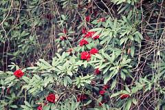 Rhododendron (Sougata2013) Tags: red india mountain flower spring nikon hill rhododendron mandi himachalpradesh nikond3200 redrhododendron dhuaandevi
