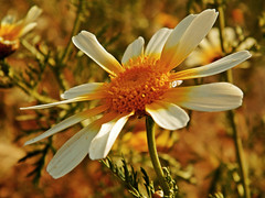 a braccia aperte (silvia07(very busy)) Tags: flower flora fiore glebioniscoronaria crisantemogiallo