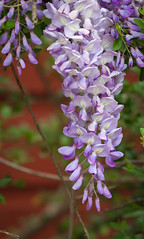 WisteriaVine (Travis Photo Works) Tags: life new pink flowers blue sky plants sun white plant flower tree green nature floral beautiful beauty gardens closeup garden easter season insect cherry japanese leaf spring vines flora day branch purple natural bright blossom outdoor background vine sunny fresh bee climbing growth bloom hanging flowering creeper wisteria springtime pergola tendrils blooming