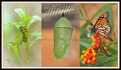 If nothing ever changed.....there would be no butterflies (BHawk Photography) Tags: collage butterfly spring florida caterpillar monarch sarasota chrysalis butterflyweed marieselbybotanicalgarden 105mm28micro nikond7000 bhawkinsphotography