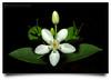 www.durmaplay.com_oyun_wallpaper_45757.jpg (http://www.durmaplay.com) Tags: flower macro closeup canon kitlens symmetry malaysia bunga 500d speedlite kualakubu 580exii annamir wwwdurmaplaycom