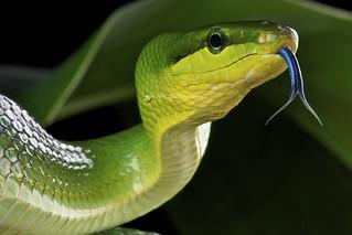 Red-tailed green rat snake / Gonyosoma oxycephalum kopie