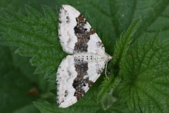 """""""Xanthorhoe montanata"""" - geoogde bandspanner (bugman11) Tags: macro nature animal animals fauna canon butterfly bug insect moth nederland thenetherlands butterflies insects bugs moths 1001nights thegalaxy 100mm28lmacro 1001nightsmagiccity infinitexposure"""