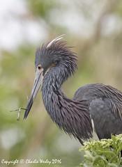 Stick Man (wesjr50) Tags: birds canon flash ii 7d beamer behavior better mk avian rookery nests staugustineflorida breedingplumage wadingbirds staugustinealligatorfarm canonef100400mmf4556iszoom