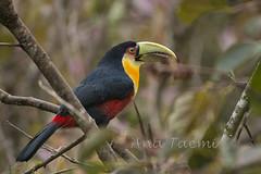 ATU_4452_Tucano de Bico Verde_HR (Ana Taemi) Tags: toucan natureza tucano camposdojordo serradamantiqueira ramphastosdicolorus redbreastedtoucan tucanodebicoverde tucanodobicoverde