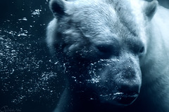 Blue Polar Bear (patrickmai875) Tags: bear blue white cold art ice nature water animal canon cool wasser kunst ngc natur sigma bubbles national monochrom polar blau kalt eis tier br eisbr 6d weis geographics 150600mm