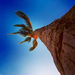 Windy Palm (otterdrivernw) Tags: hawaii maui palmtree wailea waila