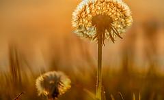 Pissenlit (jeanpierre.heitz) Tags: orange flower fleur soleil dandelion hdr crepuscule pissenlit abstrait crepusc
