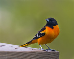 On Deck... (ragtops2000) Tags: wild portrait orange white black male nature yellow backyard colorful image sharp exciting tack migrating baltimoreoriole