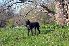 (Jean Arf) Tags: dog tree spring blossom rochester astrid poodle magnolia highlandpark standardpoodle 2016 fredericklawolmsted