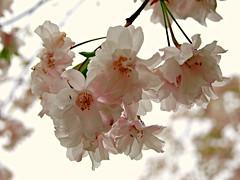 Blossoms (nimbus55) Tags: michigan cranbrook bloomfieldhills cranbrookartacademy