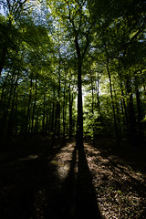 Forest (betadecay2000) Tags: wood blue trees sky forest rising woods skies angle forrest outdoor wide pflanze pflanzen himmel landschaft wald bume baum baeume stamm weitwinkel trkis hoch stmme wlder wachsen pinie konifere weitwinkelobjektiv