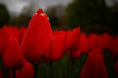 Tulips after the rain #1 (aleadam) Tags: red flores flower color wet water fleur colors rain festival may drop tulip fest