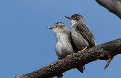 Varied Sittella - Daphoenositta chrysoptera-8398 (rawshorty) Tags: birds australia canberra campbell act rawshorty