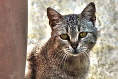 DSCF9090 (Photographer Massimo Martini) Tags: catto tigrato
