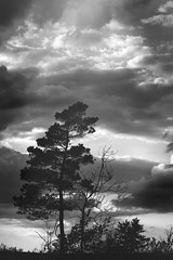 Solitary (Kapuschinsky) Tags: trees sky blackandwhite tree nature monochrome pine clouds outside outdoors moody minolta fineart dramatic naturallight solitary dramaticsky emotive lonetree conifer dramaticlight sonyalpha sonya700