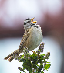Everything he has. (Omygodtom) Tags: wild bird monument nature lines nikon natural bokeh song wildlife scene serene nikkor songsparrow d7100 nikon70300mmvrlens