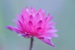 The Best One (haberlea) Tags: pink flower macro green nature garden one 1 petals aquilegia single mygarden oneflower aquilegiaclementinered