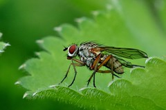 insect....................explored, thank you (Suzie Noble) Tags: green garden insect fly leaf strathglass struy