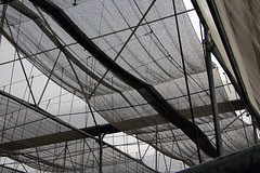 Mesh Roof of a Polyhouse in Manoli Village (IFPRI-IMAGES) Tags: india plant season pepper village farm farming grow health crop produce agriculture yield cultivation sustainable pulses nutrition southasia manoli haryana sonipat foodsecurity polyhouse agriculturaldevelopment micronutrients ifpri