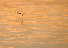 (Cna1_10) Tags: shadow reflection bird water river gold alone minimal
