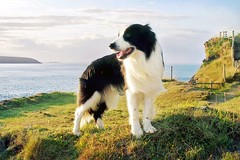 Memories (meg price) Tags: sunset sea summer holiday wales collie sheepdog border cliffs bordercollie barney stdavids thelittledoglaughed