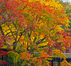 AUTUMN IN HONDOJI TEMPLE (ajpscs) Tags: leaves japan japanese tokyo maple nikon momijigari foliage momiji chiba  nippon   matsudo nichiren d300  ajpscs   hondojitemple flickraward kitakoganestationautumn
