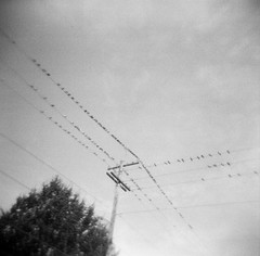 First Hill Pigeons I (liquidnight) Tags: above seattle blackandwhite bw film monochrome birds animals analog washington holga pigeons flock birding streetphotography utility delta pole professional powerlines together gathering perch kit analogue 3200 birdwatching ilford overhead rockdove firsthill perching 120cfn columbidae