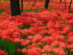 Sea of Red (Muchan5) Tags: park flowers autumn red plant nature colors garden landscape flora nikon hana saitama lycoris kinchakuda kinchakudapark mygearandme mygearandmepremium mygearandmebronze mygearandmesilver mygearandmegold mygearandmeplatinum mygearandmediamond nikonp300