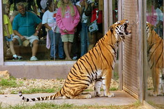 This is why they keep tigers seperated from people