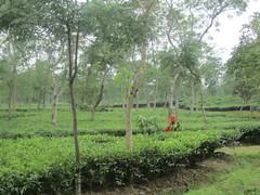 Tea Leaf Picker (Sarkerbot) Tags: tea srimongal tealeafpicker
