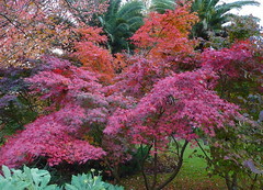 Acer palmatum (jon orue) Tags: japanesemaple acerpalmatum