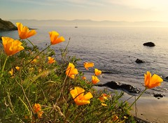 California Poppies in Victoria, BC (Lisa Bettany {Mostly Lisa}) Tags: camera flower beach victoria poppy iphone californiapoppies