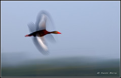 Whirlabout (Kevin B Photo) Tags: park sky usa brown abstract motion blur color green bird nature wet beautiful beauty birds horizontal closeup america outdoors photography one fly flying wings movement nikon colorful day exterior unitedstates artistic florida native action wildlife south flight wing dramatic calm southern wetlands daytime fl marsh southeast avian wetland d300 serenitynow kevinbarry blackbelliedwhistlingduck vierawetlands wowiekazowie colourlicious flyingpatchworkquilt